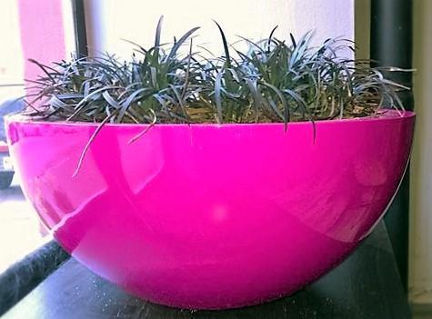 Pinkki käärmeenparta kukka&ruukku